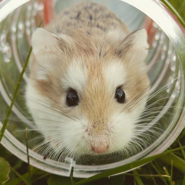 hamster gris dans un tube plastique